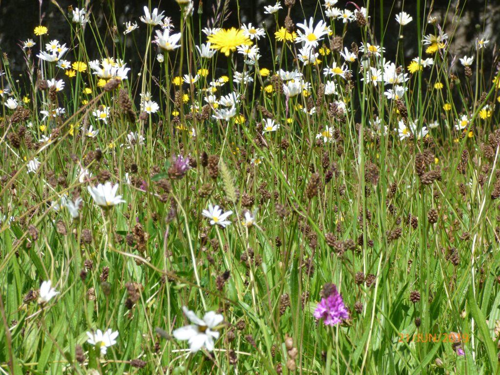 Ox-eye Daisy, Pyramidal Orchid, Common Knapweed, Hay Rattle