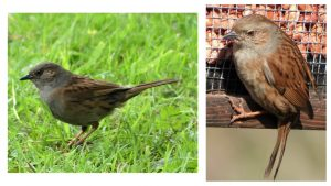 1. Dunnock on pasture. 2. Dunnock on peanut feeder.
