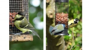 1. Juvenile Great Tit 2. Blue Tit and Great Tit on peanut feeder