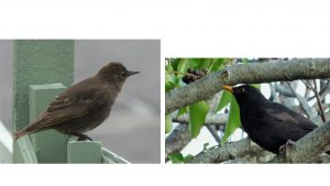 1. Juvenile Starling 2. Blackbird approaching Ivy berries allowed to ripen