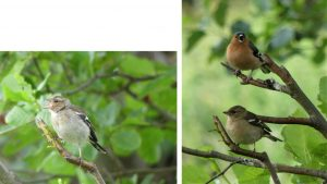 1.Chaffinch. 2 Male and female Chaffinch.