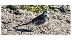 Pied Wagtail in search of insects.