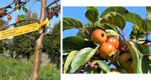 1. Apple Tree. 2. Apple Tree with Ladybird