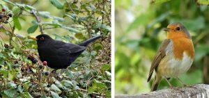 1. Male blackbird feeding on the last of the brambleberries. 2. Robin ready for song.