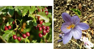 1. Red Hawthorn berries in the hedgerows. 2. Autumn flowering crocus on the terrace.