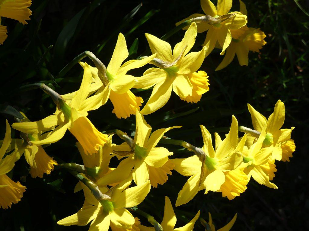 Daffodills on Terrace at IMMA