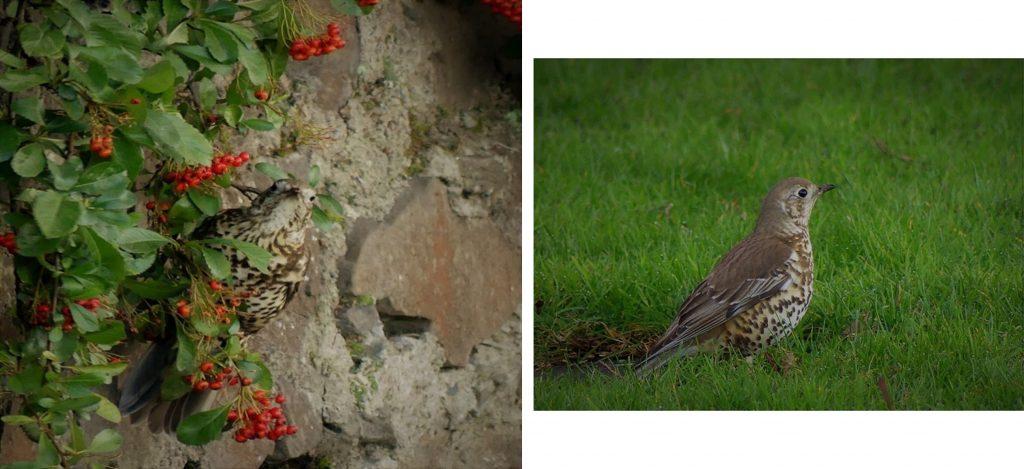 1. Mistle thrush feeding on Cotoneaster berries. <br>2. Mistle Thrush