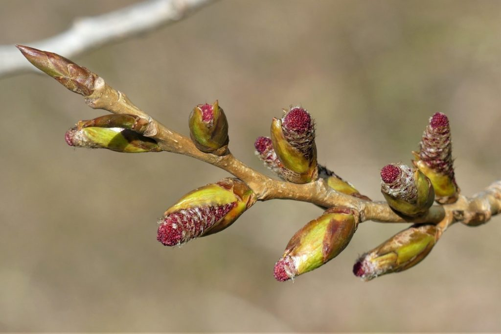 Male catkins on the poplar trees.
