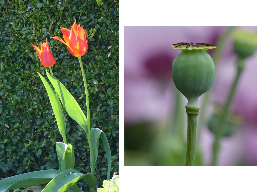 1. Tulips blooming in the Formal Gardens now at IMMA.<br> 2. Poppy seed head in the meadows at IMMA in 2020.