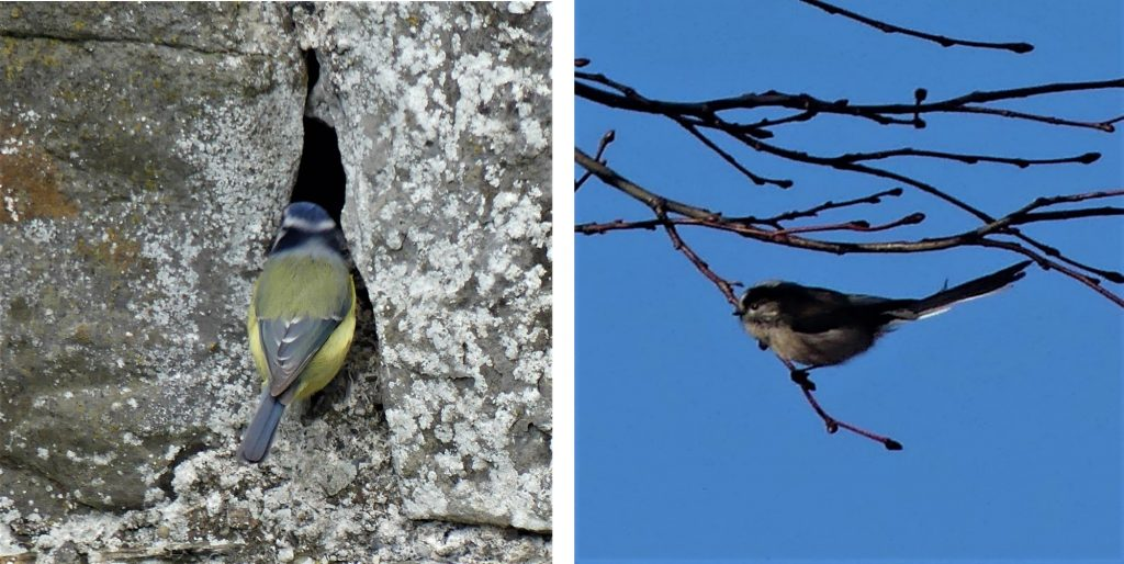 1. Blue tit checking out a suitable home in the walled garden at IMMA.<br>2. Long -Tailed Tit