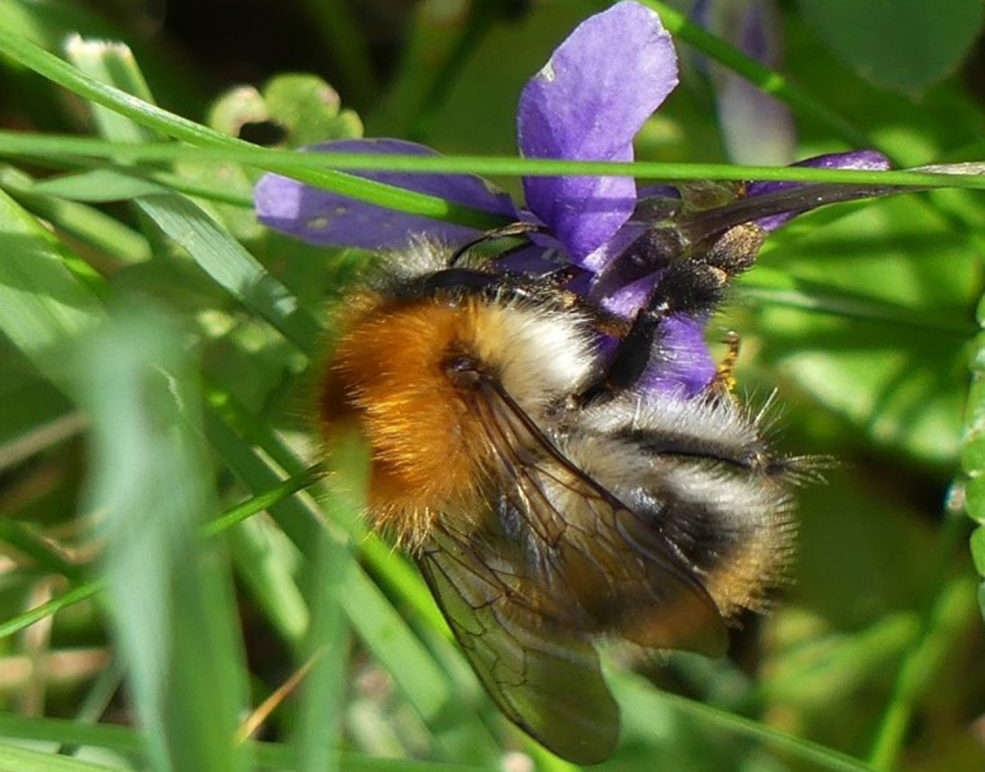 Common carder bee feeding on violets beneath the apple trees at IMMA.