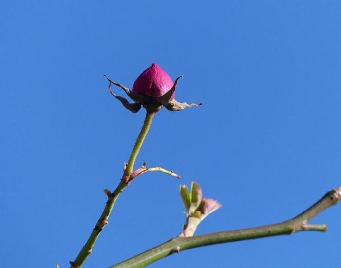 Rosebud February 2021.